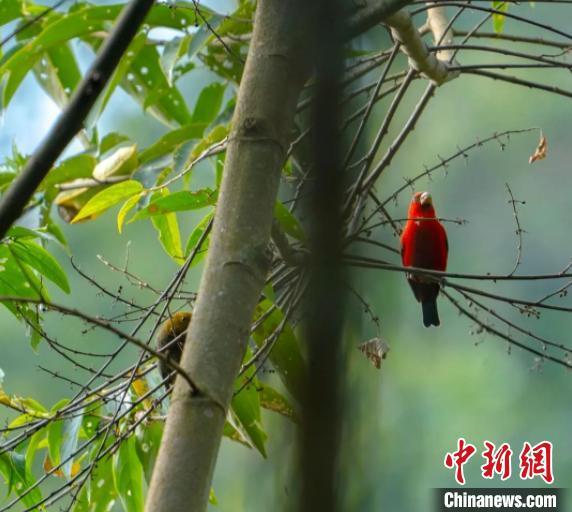 罕见血雀现身云南德宏 为建立鸟类观测点进行保护奠定良好基础