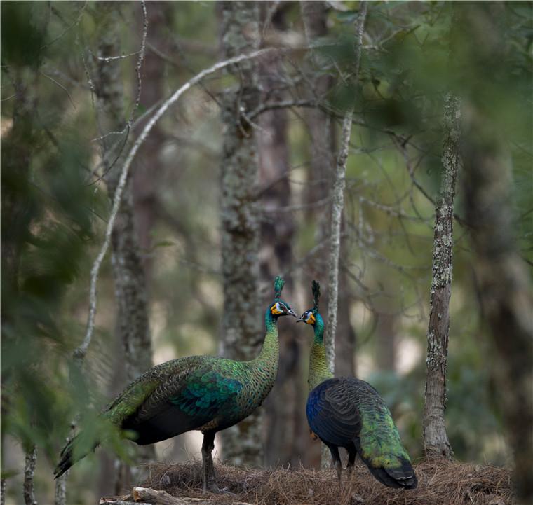 世界野生动植物日 云南林间谷地中的绿孔雀相继进入求偶繁殖期