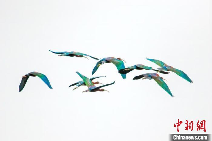 罕见!国家一级保护动物彩鹮造访云南普洱市孟连